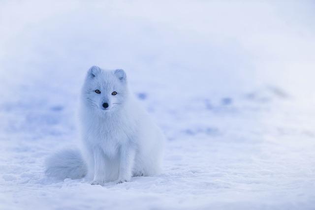 iceland, arctic fox, fox