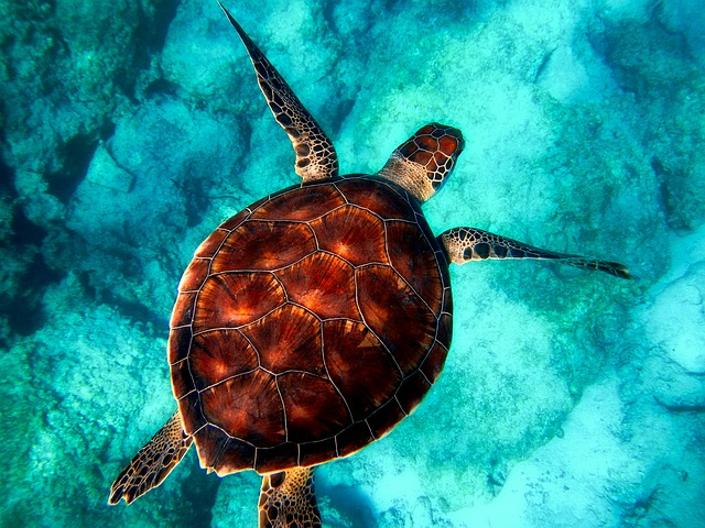 sea, turtle, diving